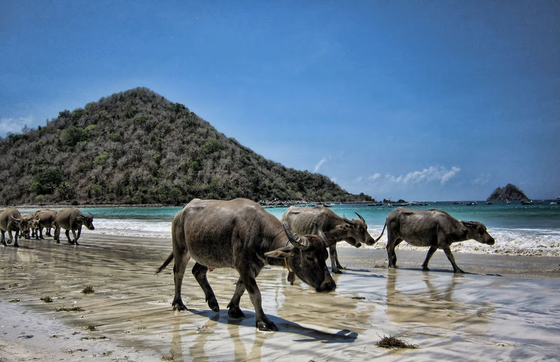 Water buffaloes walking on sand at beach against blue sky during sunny day