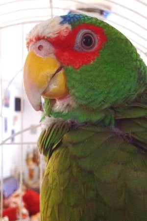 Pedro Love It Animal Time Parrot Bird