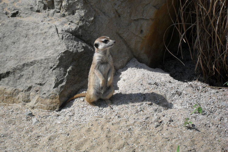 Animal Themes Animal Wildlife One Animal Sunlight No People Animals In The Wild Meerkat Sand Day Tree Nature Photography First Eyeem Photo OlympusPEN Beauty In Nature Love Photography Relax❤️ Pets What Are You WatchingNature Dude Zoo Animals