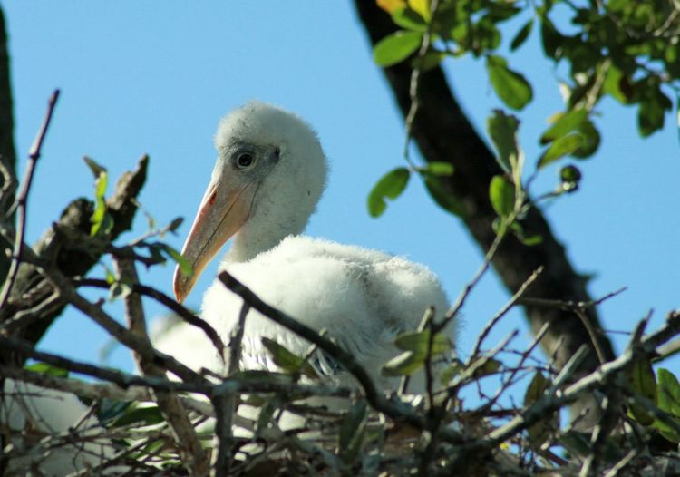 Close-Up Of Young Wood Stork