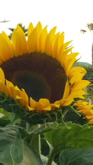 Oc Fairgrounds Beauty In Nature Blooming Close-up Day Flower Flower Head Fragility Freshness Growth Leaf Nature No People Outdoors Petal Plant Sky Sunflower Yellow