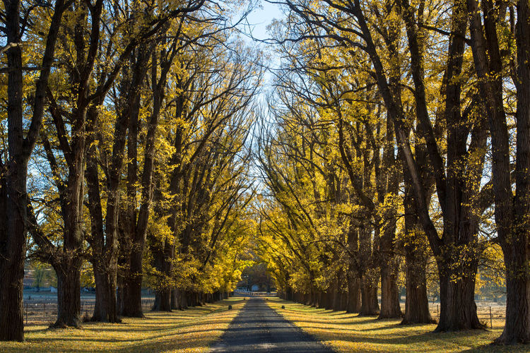 Tree Plant Direction The Way Forward Autumn Beauty In Nature Road Nature Tranquility Growth Change Diminishing Perspective Treelined Tranquil Scene No People Day Tree Trunk Scenics - Nature Land Trunk Outdoors Tree Canopy