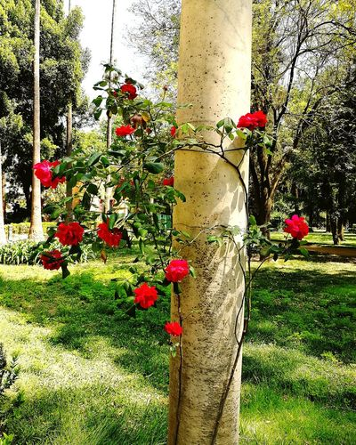 Rose - Flower Roses🌹 Roses Rose Tree Tranquility Lovely Romantic Outdoor Photography Outside Photography Naturelovers Naturephotography Tree Low Section Grass Close-up Blooming Petal Fragility In Bloom Plant Life Flower Head Growing