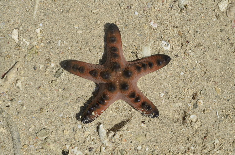 Animal Themes Animals In The Wild Beach Close-up Coral Reef Corals Day High Angle View Live For The Story Macro Macro Photography Nature No People One Animal Outdoors Sand Sea Life Star Starfish  Starfish  Summer Summertime Travel Travel Destinations Vacations