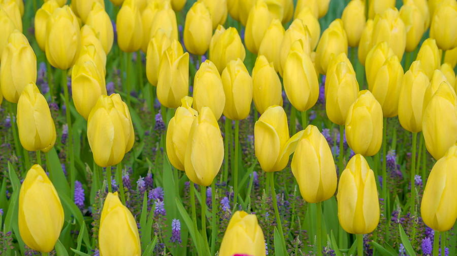 The bed of yellow tulip flowers in the garden taken on a spring season in Netherland Yellow Freshness Flower Plant Flowering Plant Vulnerability  Tulip Fragility Beauty In Nature Full Frame Backgrounds Close-up Nature Growth No People Petal Inflorescence Abundance Flower Head Day Springtime Outdoors Flowerbed Purple Netherlands Spring Holland Nature Field Beautiful Garden Landscape Travel Season  Colorful Blossom Flora Blooming