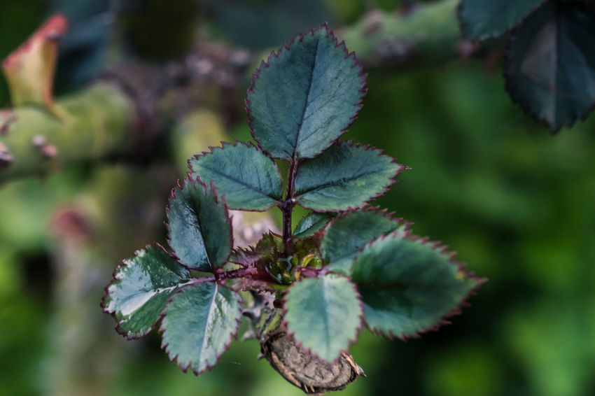 Beauty In Nature Close-up Day Focus On Foreground Fragility Freshness Green Color Growth Leaf Nature Outdoors Plant