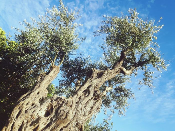 Frog Perspective Looking Up At The Sky Olive Tree Ancient Trees Healthy Food Meditation Olive Oil Healthy Eating Rays Of Sunshine Inviting Rest Olive Tree Landescape Mediterranean  Olive Garden Mediterranean Life Healthy Lifestyle Sunset Inviting Olives Clear Sky Blue Sky