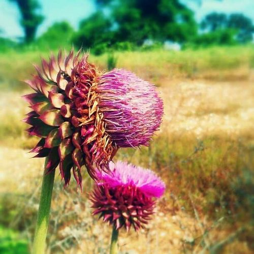 Thistle Pink Field Flower Photography Spring Art Historical Place Early Morning