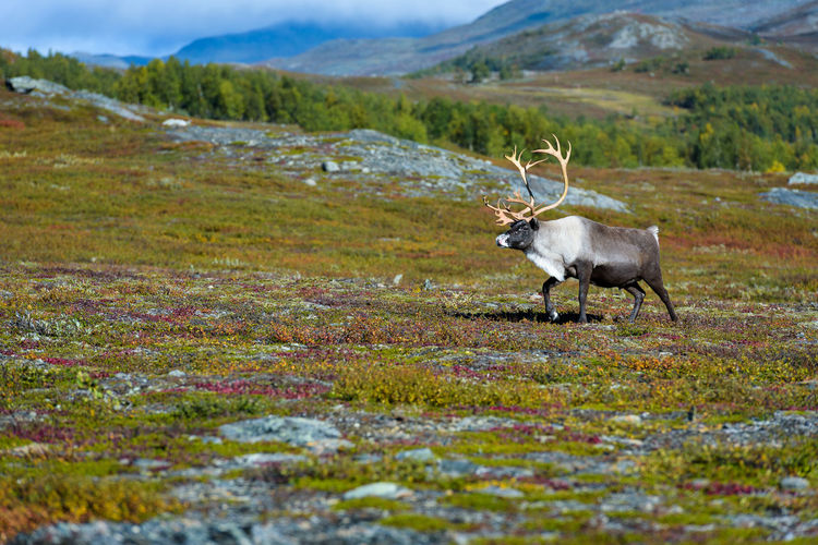 reindeer in the mountains Beautiful Animal Reindeer Sweden Trees Wild Animal Animal Animal Themes Animal Wildlife Animals In The Wild Beauty In Nature Day Eyes Grass Landscape Mountain Mountain Range Nature No People Northern Sweden One Animal Outdoors Scenics Tundra Walking