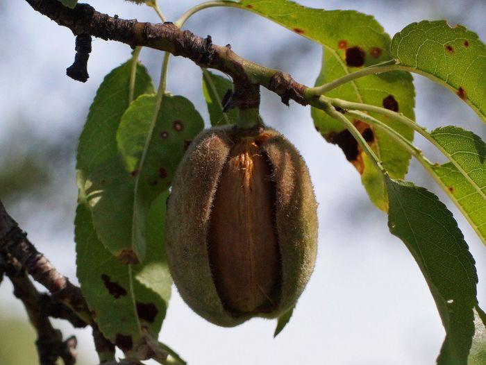 Almond Almond