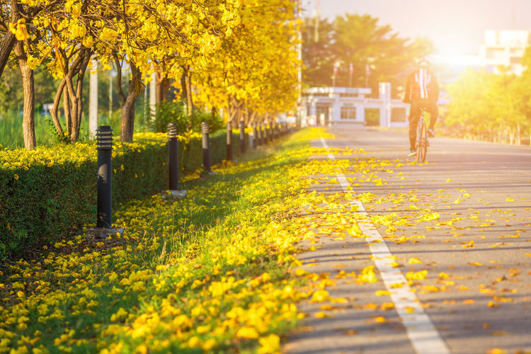Plant Tree Yellow Nature Walking Footpath Sunlight Selective Focus Day City Autumn Outdoors Park Park - Man Made Space Beauty In Nature Road Transportation One Person Architecture Growth Change Springtime Golden Trumpet Tree Goltrumpet Tree Golden Tree