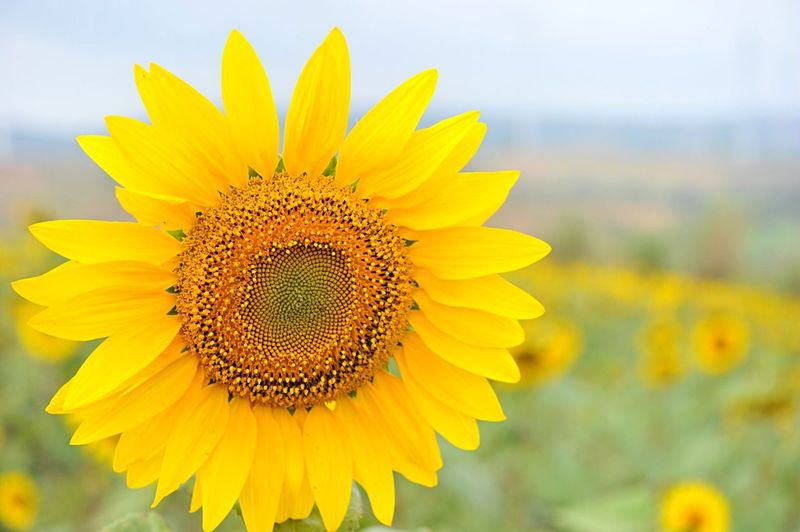 Sun flower at Petchabun Sun Flowers Field Flower Collection Outdoor Photography
