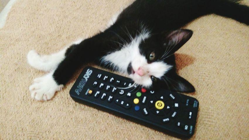 Pets One Animal Domestic Animals Feline Domestic Cat K6 Plus