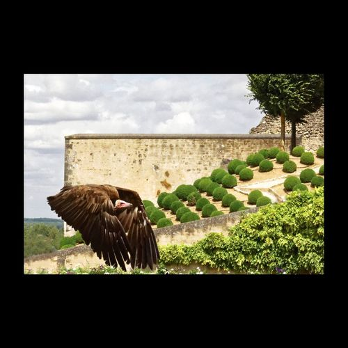 Vautour Vulture Bird Photography Bird Eyem Best Shots Touraine Amboise EyeEm Birds Birds_collection EyeEm Best Shots