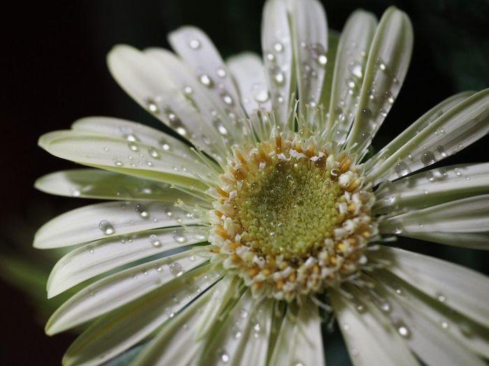 Close-up of wet white gerbera daisy
