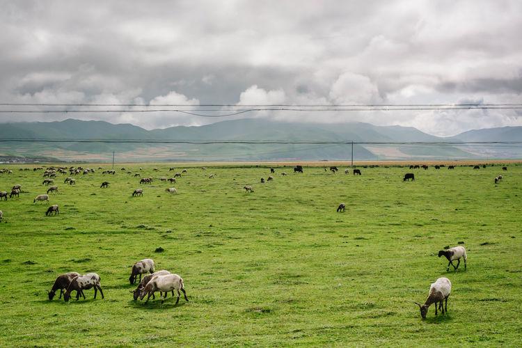 Prairie Agriculture Animal Animal Themes Dairy Farm Farm Flock Of Sheep Grass Grassland Grazing Landscape Nature Pasture Pasture Prairie Rural Scene Sheep