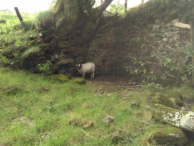 Lamb Sheep Alone Lost Wall Lost Sheep Tree Grazing Grass Livestock Green Color