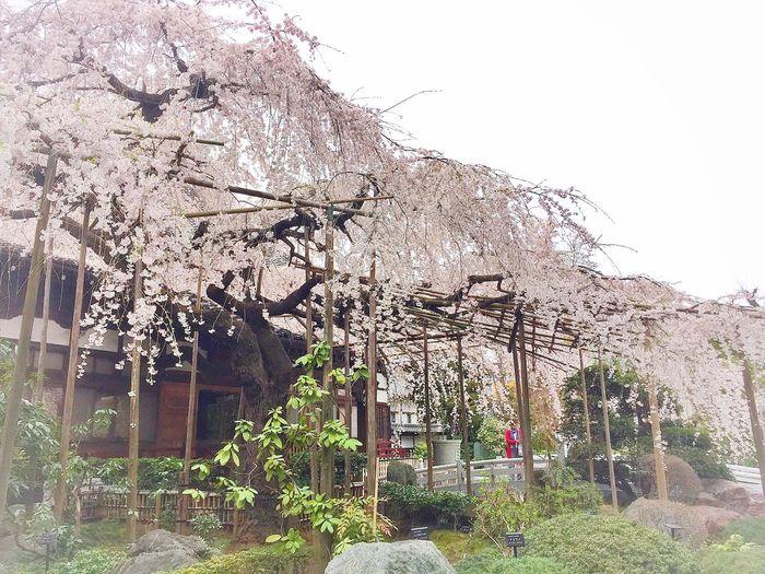 空が青ければ…。 Beautiful Day Enjoying Life Sakura2015 桜 Relaxing 玉蔵院 しだれ桜 曇り空