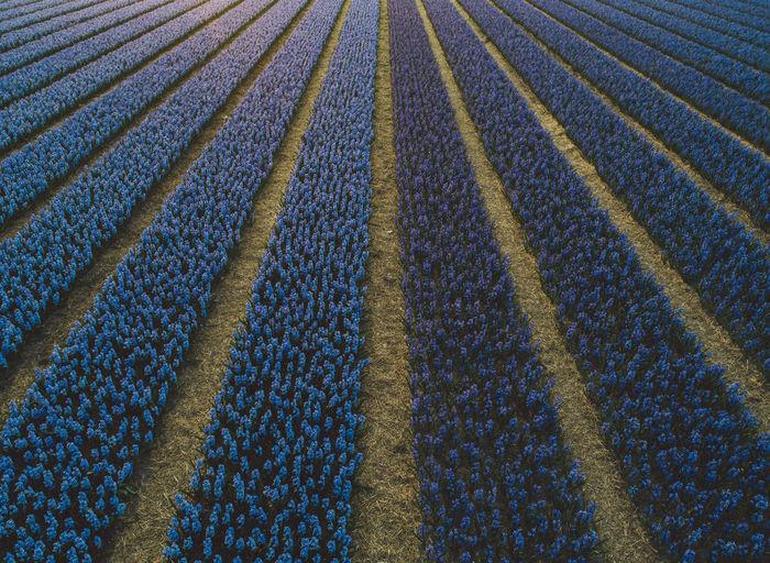 Full frame shot of blue flowers growing on field