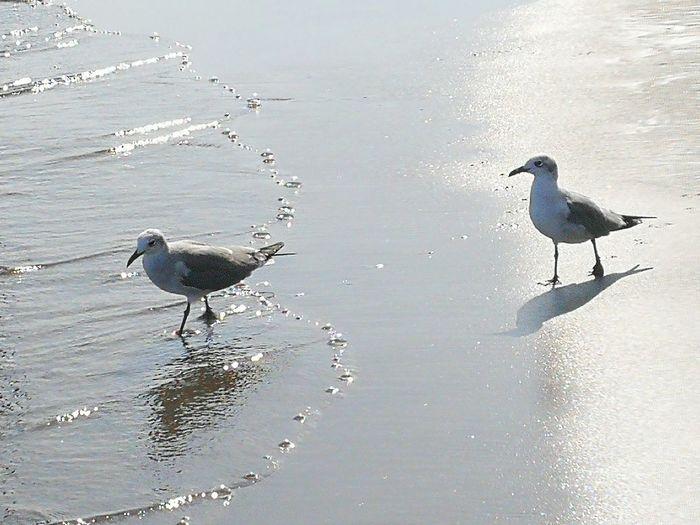 Seagull Gull
