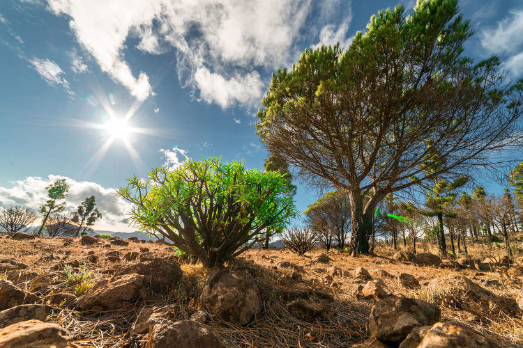 Tree Tabaiba GranCanaria Forest Dust Earth Sun Cloud - Sky Sky Landscape Wood Sunlight Plant Nature Land Environment Tranquility No People Lens Flare Arid Climate Climate Outdoors Day Bright Sunny