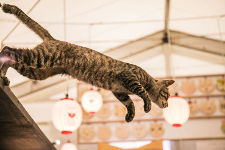 Close-Up Of Tabby Cat Jumping In Mid-Air
