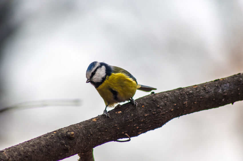Cyanistes caeruleus Animal Themes Animal Animal Wildlife Animals In The Wild Bird Perching One Animal Vertebrate Branch Tree Focus On Foreground No People Day Nature Outdoors Close-up Plant Yellow Beauty In Nature Bluetit