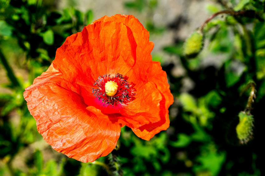 Beauty In Nature Close-up Day Flower Flower Head Flowering Plant Focus On Foreground Fragility Freshness Growth Inflorescence Nature No People Orange Orange Color Petal Plant Pollen Poppy Vulnerability