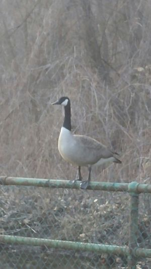 Goose Hanging Out Early Morning Check This Out Relaxing Enjoying Life Interesting Pictures Animals Bird Photography