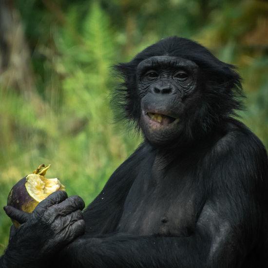 Ein goldiges Kerlchen 😁👌 Schimpanse Affe Gehege Zoo Frankfurt J=nikon D500 Spiegelreflexkamera Tamron 18-400mm Human Hand Reptile Portrait Ape Living Organism Holding Young Animal Close-up