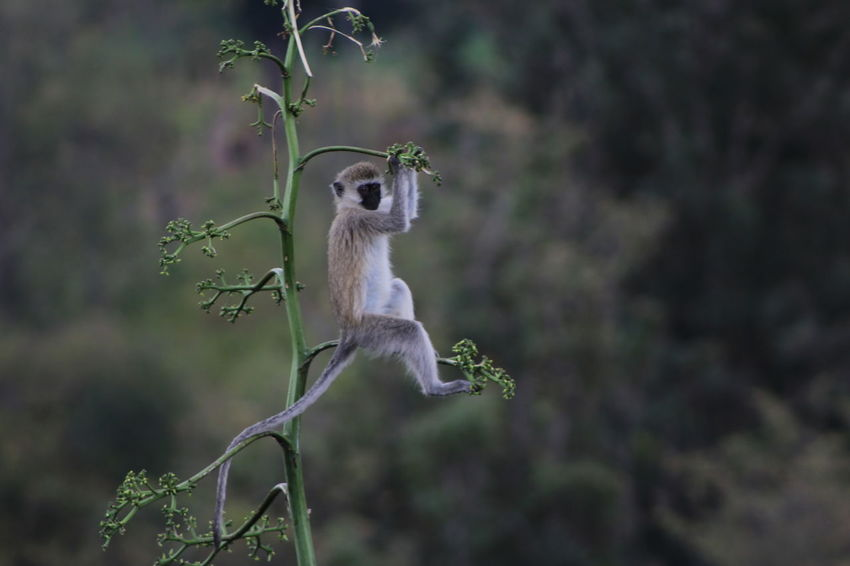 Africa Animal Themes Animals In The Wild Beauty In Nature Day Focus On Foreground Full Length Monkey Monkey In Tree Monkey Tail Nature No People One Animal Perching Tanzania Tranquility Velvet Monkey Vervet Monkey Wildlife