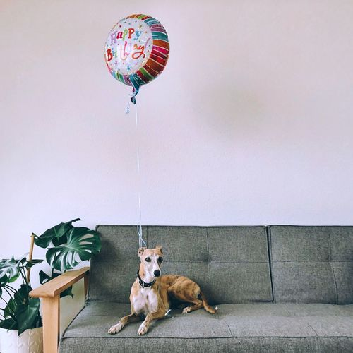 Gifting Pets Happy Birthday Balloon Happy Birthday Wish Birthday Balloons Happy Birthday Mammal Animal Themes Animal One Animal Domestic Animals Pets Domestic Dog