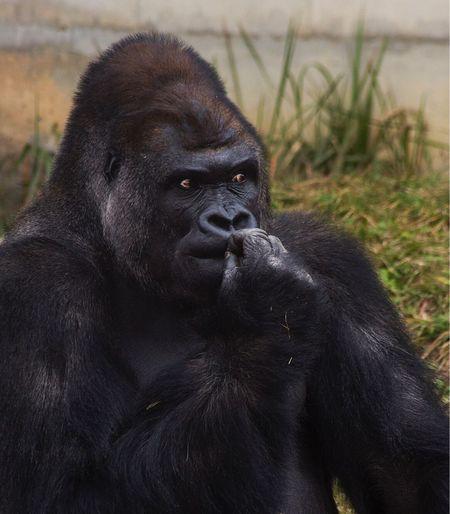 -Daddy- Animal Themes Gorila Gorillaz Gorilla Wild Wildlife Wildlife & Nature Animal Animals Japan Japan Photography Nagoya Canonphotography Canon5Dmk3 Goril Vahsi Vahşiyaşam Animal Wildlife Monkey