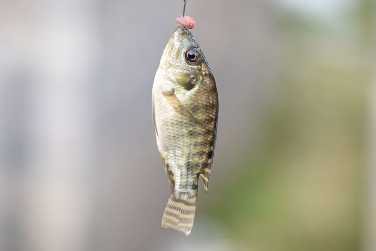 Close-up of dead fish hanging from hook