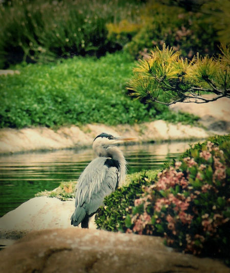 Birds_collection Day Heron Japanese Garden Nature No People Tranquil Scene Tranquility Water
