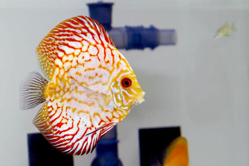 Aquarium Discus Discus Fish Fish Fisheye Nature Redstone Water