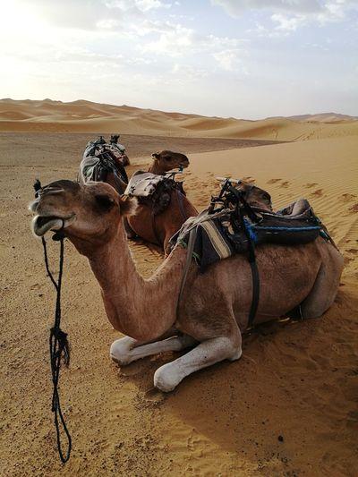 camel gangster at Sahara desert Soonjourney MyWanderLust Morocco Travel Africa Gangster Desert Sand Dune Desert Sand Pyramid Arid Climate Camel Sky Landscape Working Animal