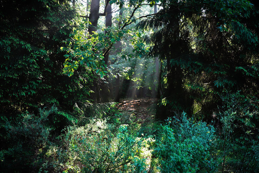 Bench Clearing Gold Green Morning Morning Light Nature Oberberg Plants Sun And Shadow Sunlight Tree Trunk Trees Walk Wood Beauty In Nature Forest Forest Photography Forestwalk Naturelovers Outdoors Sunbeam Sunrise Way