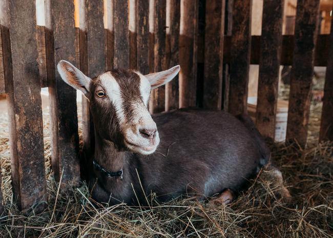 Farm Goat Animal Animal Wildlife Hay Livestock Mama Goat Mammal Nature One Animal Relaxation