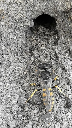Wasp Yellow Gelb Splash Wespe Erdwespe Höhle Buddeln High Angle View Animal Themes One Animal Animals In The Wild Day Animal Wildlife Outdoors No People Sand Nature Close-up Insect
