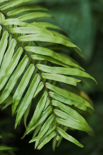 Plant Part Growth Leaf Green Color Plant Close-up Focus On Foreground Nature Beauty In Nature No People Day Outdoors Selective Focus Freshness Tranquility Tree Natural Pattern Leaves Tropical Climate Botany Palm Leaf