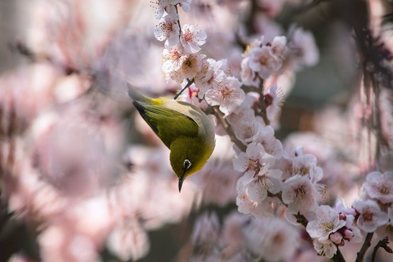 Close-up of bird perching on blossoms in spring