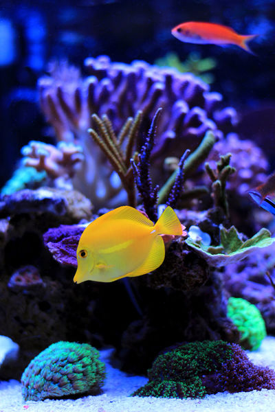Zebrasoma Yellow Tang Saltwater Aquarium Saltwater Saltwater Fish Saltwater Aquarium Yellow Tang Zebrasoma Flavenscens Zebrasoma Coral Reef Coral Reef Fish Coral Reef Tank Animal Themes Animal Wildlife Animals In The Wild Aquarium Beauty In Nature Close-up Clown Fish Coral Day Fish Indoors  Nature One Animal Sea Sea Life Swimming UnderSea Underwater Water Yellow