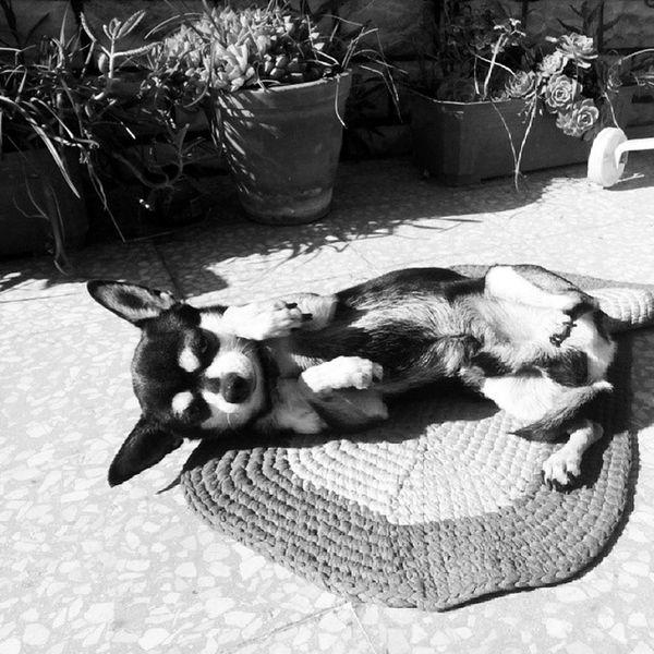 Vida de cão mesmo Dog Chiuaua