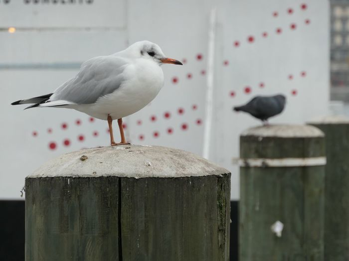 Contemplation EyeEm Selects Bird Vertebrate Animal Animal Themes Perching Animal Wildlife Focus On Foreground One Animal Animals In The Wild No People Day Close-up Seagull Nature Outdoors Full Length Wood - Material Metal Dove - Bird Wooden Post