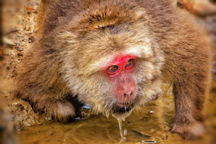 One Animal Animal Themes Close-up Mammal Animals In The Wild Mountain Monkey The King Of Montain Mood Captures Drinkup Animals In The Wild Animal Wildlife Alerte EyeEm Gallery EyeEm Masterclass Exceptional Photographs Eye For Photography