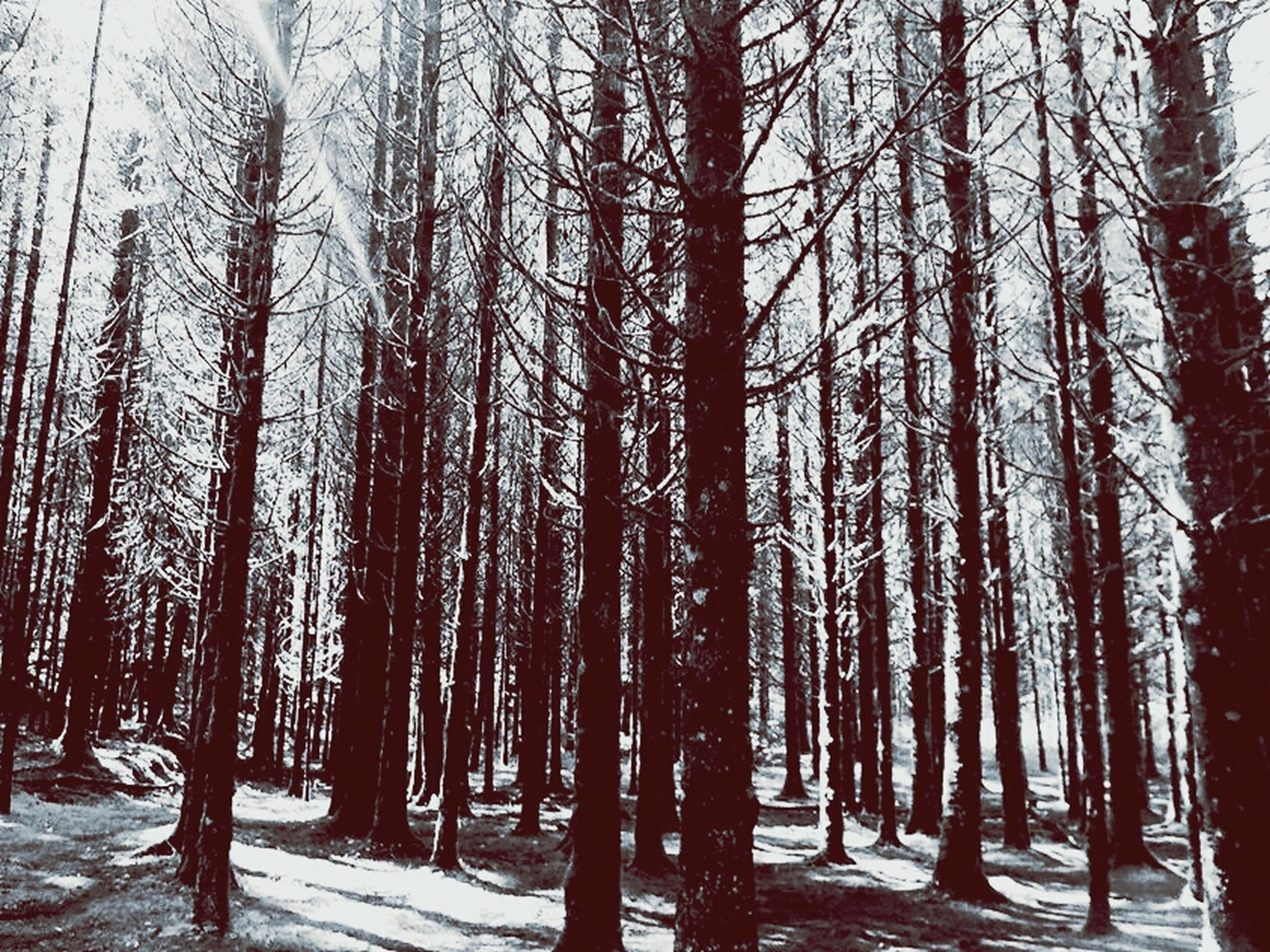 tree, tree trunk, snow, winter, cold temperature, tranquility, nature, tranquil scene, season, woodland, forest, beauty in nature, branch, growth, scenics, bare tree, weather, treelined, landscape, non-urban scene