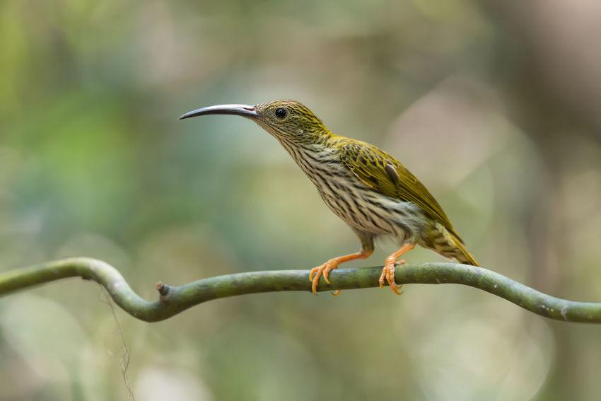 Long bill and long bar bird. Perching Bird Bird Long Bill Bird Nobody Around Spiderhunter Striped Tropical Climate Vine