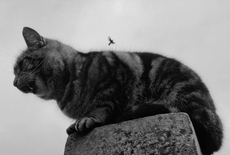 ... a Cat and a Bird ... Monochrome Animal Themes Mammal Outdoors Day No People Mono Monochromatic Monoart Blackandwhite Black And White Bizzare Weird Photo Bombed Flying Miau Teeth Lookingup Pet Stripes Everywhere Fur кошки птички