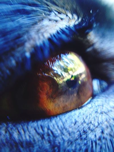 EyeEmNewHere look through the eyes of the innocent, learn from them Close-up One Animal Eyesight Eyeball Labrador Animal Themes Lindsey Riddell Beauty In Nature